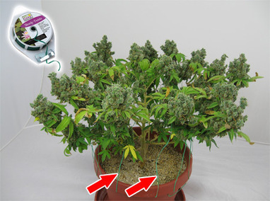 how to trim a weed plant to make it bushy