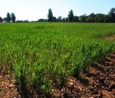 US farmers may stop planting GMs after poor global yields | Local Food Systems | Scoop.it