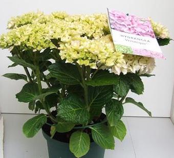B&D Lilies Garden Blog: Everlasting™ Hydrangeas - Bloom all summer | Annie Haven | Haven Brand | Scoop.it