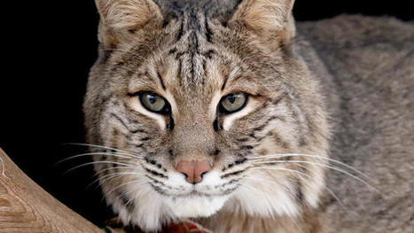 Bobcat hunting may return to Illinois after 40-year hiatus | Trophy Hunting: It's Impact on Wildlife and People | Scoop.it