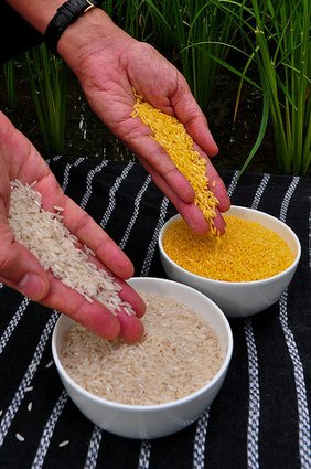 Golden Rice | Feeding the world's people | Scoop.it