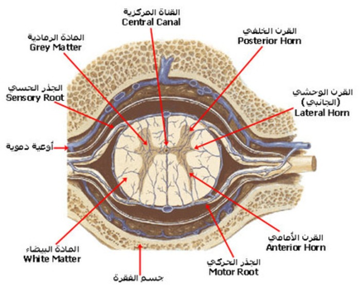 (AR) (EN) - الـــجـــهـــاز الـــعـــصـــبـــي Nervous System   your-doctor.net   Glossarissimo!   Scoop.it