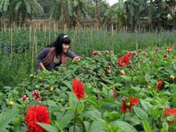 Cách trồng và chăm sóc cây thược dược đẹp - chăm sóc cây trồng | tamdeptrai | Scoop.it