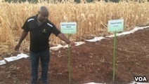 Zimbabwean Scientists Unveil Maize Seeds Resistant to Heat, Drought | VOA | CGIAR Climate in the News | Scoop.it