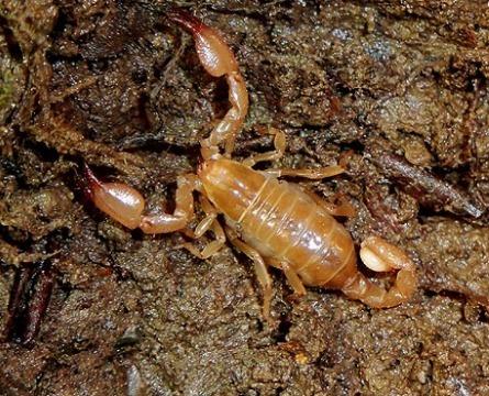 Menaces sur le scorpion aveugle du Canigou | EntomoNews | Scoop.it