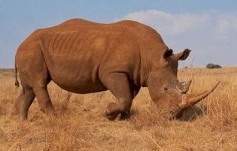 Turning tables on poisoning poachers | Help save our Rhinos | Scoop.it