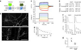 High-fidelity optical reporting of neuronal electrical activity with an ultrafast fluorescent voltage sensor | Neuroscience_technics | Scoop.it