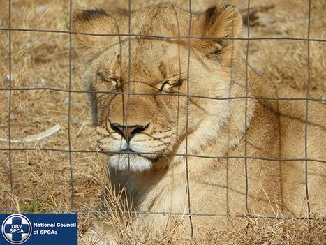 SABC News - Farming lions in the name of sport | Trophy Hunting: It's Impact on Wildlife and People | Scoop.it