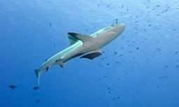 Palau approves huge Pacific marine sanctuary   Amocean OceanScoops   Scoop.it