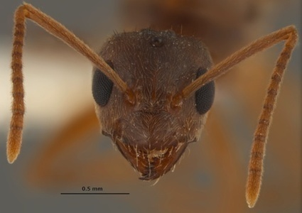 Invasion of Crazy Ants Maddening  For Southern U.S. | All About Ants | Scoop.it
