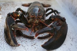 Do lobsters and other invertebrates feel pain? | Animal Cruelty | Scoop.it