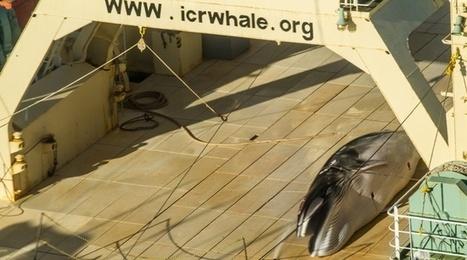 Un baleinier japonais pris sur le fait en Antarctique | Biodiversité | Scoop.it