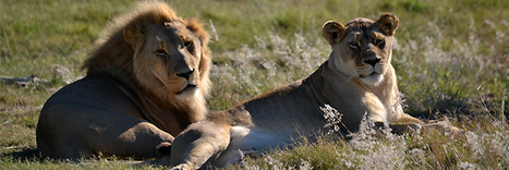 """Can """"Canned Lion Hunting"""" save the Lion? 
