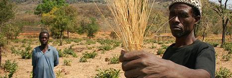 Le fonio, une céréale sans gluten riche en nutriments | Code Planète | Scoop.it