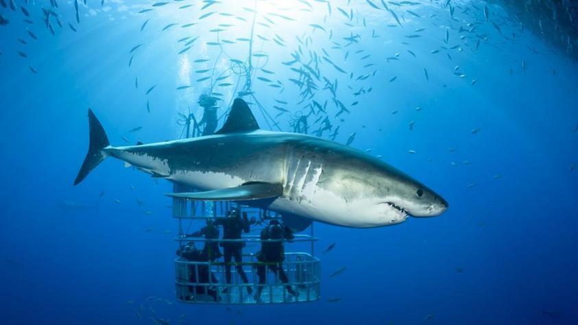 Bucear con tiburones, un motivo para su conserv...