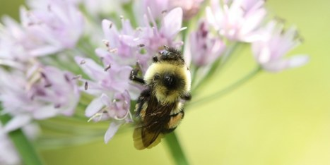It's Official: First Bumble Bee Species Listed as Endangered in 'Race Against Extinction' | Farming, Forests, Water, Fishing and Environment | Scoop.it