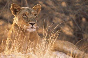 The Courage of a Lioness | Universal Spirituality | Scoop.it