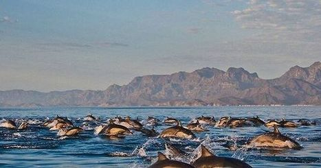 Dolphins in Loreto Bay, our most popular pin on Pinterest this week | Baja California | Scoop.it
