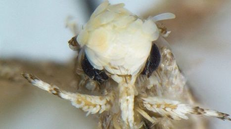 Moth with 'golden flake hairstyle' named after Donald Trump. @investorseurope #culture   Culture, Humour, the Brave, the Foolhardy and the Damned   Scoop.it