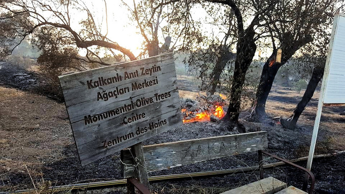 Monumental Olive Trees in Cyprus Destroyed by Wildfires