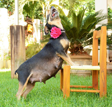 #Pregnant #Dog Totally Rocks Her #Maternity #Photo #Shoot | Design Ideas | Scoop.it