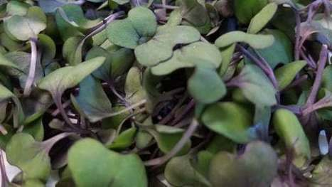 Mouse study suggests microgreens could offer macro benefits | Longevity science | Scoop.it