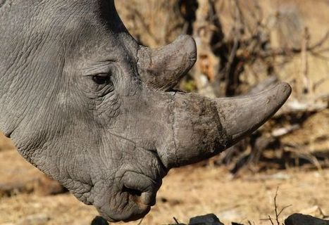 Ranger fatally shot by poachers | What's Happening to Africa's Rhino? | Scoop.it