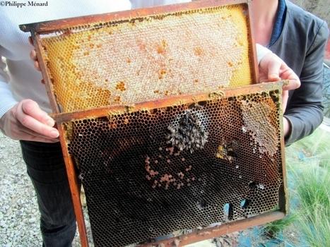 Charente et Charente-Maritime : c'est l'hécatombe dans les ruches d'abeilles | Développement durable en France | Scoop.it