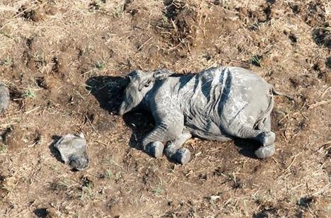 Poachers kill 26 elephantsin Chobe National Park | Wildlife Trafficking: Who Does it? Allows it? | Scoop.it