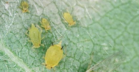 Insecticide resistance found in soybean aphid treatments | Grain du Coteau : News ( corn maize ethanol DDG soybean soymeal wheat livestock beef pigs canadian dollar) | Scoop.it