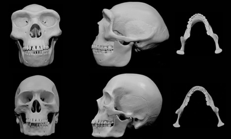 The human face developed over 5m years of fisticuffs, scientists claim | Humans Being | Scoop.it