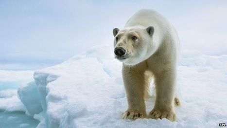 Polar bears fail to adapt to lack of food in warmer Arctic - BBC News   Theme 3: Resources & the Environment   Scoop.it
