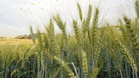 Du blé génétiquement modifié testé dans un champ en France ?  Mais non, en Suisse… | plant cell genetics | Scoop.it