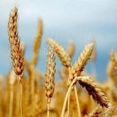 FAO food price index down for third month running: plenty of corn and wheat - MercoPress | NGOs in Human Rights, Peace and Development | Scoop.it