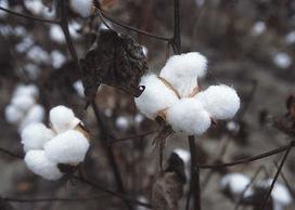 Double X Science: cotton genome | Plant genetics | Scoop.it