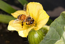 Survey by USDA and Collaborators Reports Fewer Winter Honey Bee Losses / May 31, 2012 / News from the USDA Agricultural Research Service | Pollinators: a plant focus, for backyards | Scoop.it