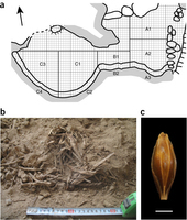 Genomic analysis of 6,000-year-old cultivated grain illuminates the domestication history of barley | Agricultural Biodiversity | Scoop.it