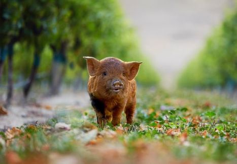 Kunekune pigs and babydoll sheep are sustainable helpers at Yealands Winery | Quirky wine & spirit articles from VINGLISH | Scoop.it