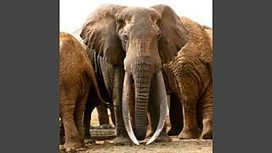 There are only about 21 giant tusked bull elephants left in the world because of #ivory #poaching #extinction | Messenger for mother Earth | Scoop.it