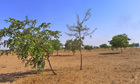 Sprouting success in Senegal: trees offer growing solution to Sahel | Growing Food | Scoop.it