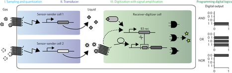 Designed cell consortia as fragrance-programmable analog-to-digital converters | SynBioFromLeukipposInstitute | Scoop.it