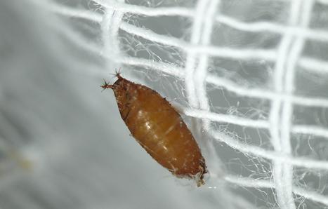 INRA - Lutte bio contre Drosophila suzukii | HORTICULTURE BOTANIQUE | Scoop.it