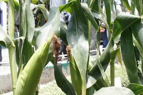 Kenya: Biotechnology can ensure food security | MAIZE | Scoop.it