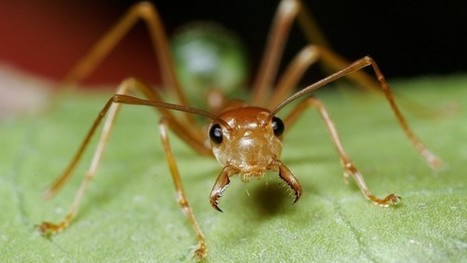 Tiny ant takes on pesticide industry | inspiring | Scoop.it