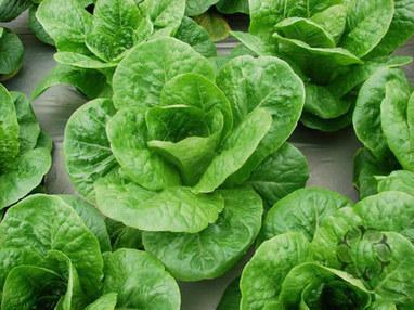 Cách trồng rau xà lách trong thùng xốp an toàn-Vườn Cây Bốn Mùa | tamdeptrai | Scoop.it