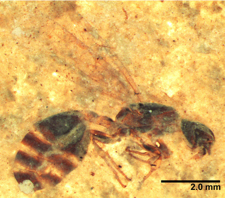 New Montana ant species emerge from 46-million-year-old rock | All About Ants | Scoop.it