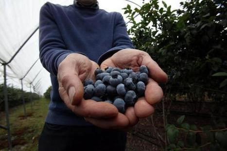 A blueberry bonanza? Scientists work on new strain of 'superfood' that's hardy enough for Scottish soils | Erba Volant - Applied Plant Science | Scoop.it