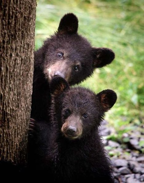 Learn about Appalachian Bear Rescue at library | Tennessee Libraries | Scoop.it