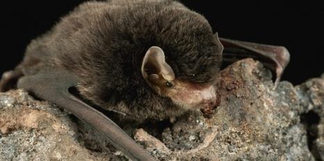 Une nouvelle espèce de chauve-souris en Anjou | Biodiversité, Herpétologie, Ichtyologie, Entomologie... | Scoop.it