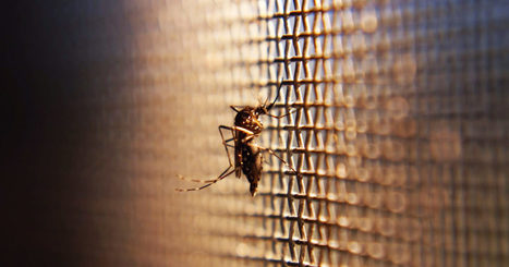 A California City Is Fending Off #Zika by Releasing 40,000 Mosquitoes Every Week | Twisted Microbiology | Scoop.it